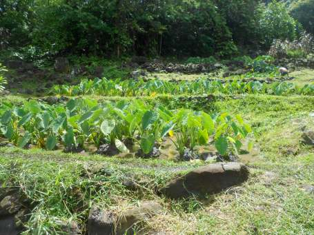 Help restore the Lo'i kale at Ulupo Heiau.